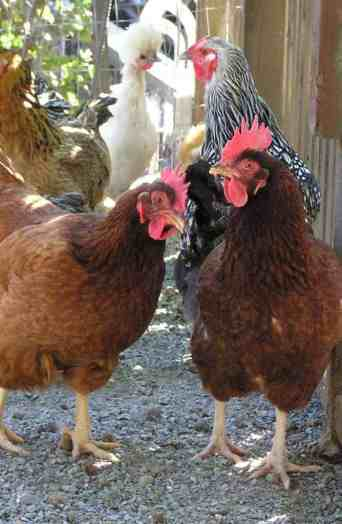 A picture of four chickens - two brown chickens in front with a white chicken and black speckled chicken in back.