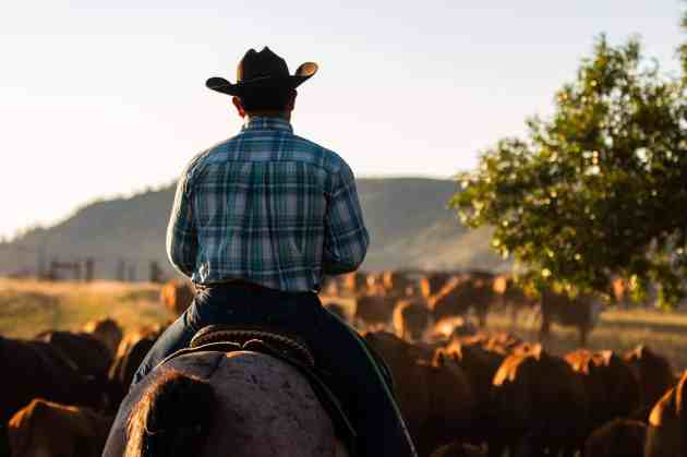 Image of the back of a cowboy riding a horse towards cattle.