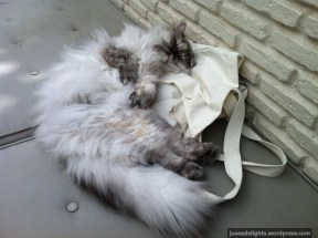 Persian sleeping on bag; Purr Cat Café Club, Bangkok