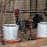 Got Chickens?
