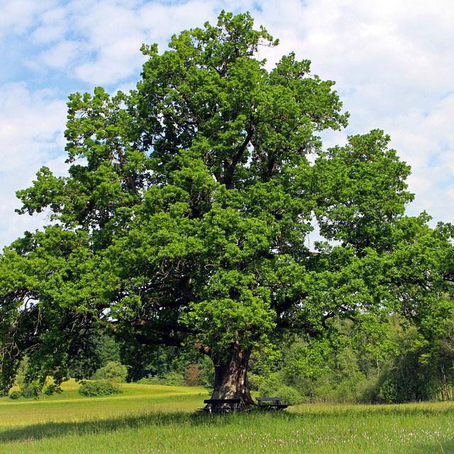 「大きな木」の画像検索結果