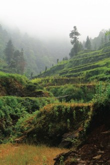 Giardini di tè biologico nella regione cinese di Jiangxi