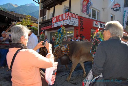 Down at street level, it was elbow to elbow with spectators and cows.