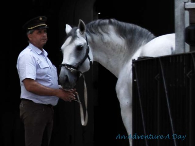 Sadly, this was the most I saw of the Lipizzaners in Austria