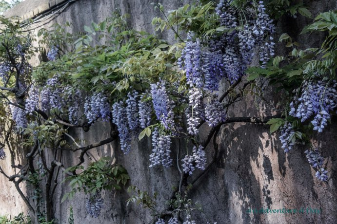 wisteria on the wall
