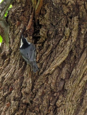 05-25-13_b_white-breasted_nuthatch_a