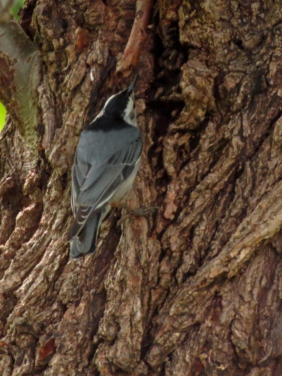 05-25-13_b_white-breasted_nuthatch_b