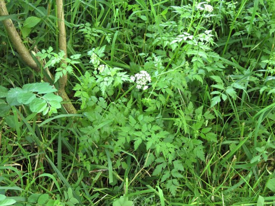 06-08-13_wf_Pacific_Water_Parsley_a
