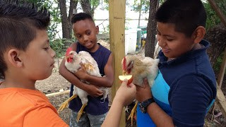 BUGS students and Chickens
