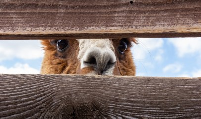 alpaca peeking through a fence