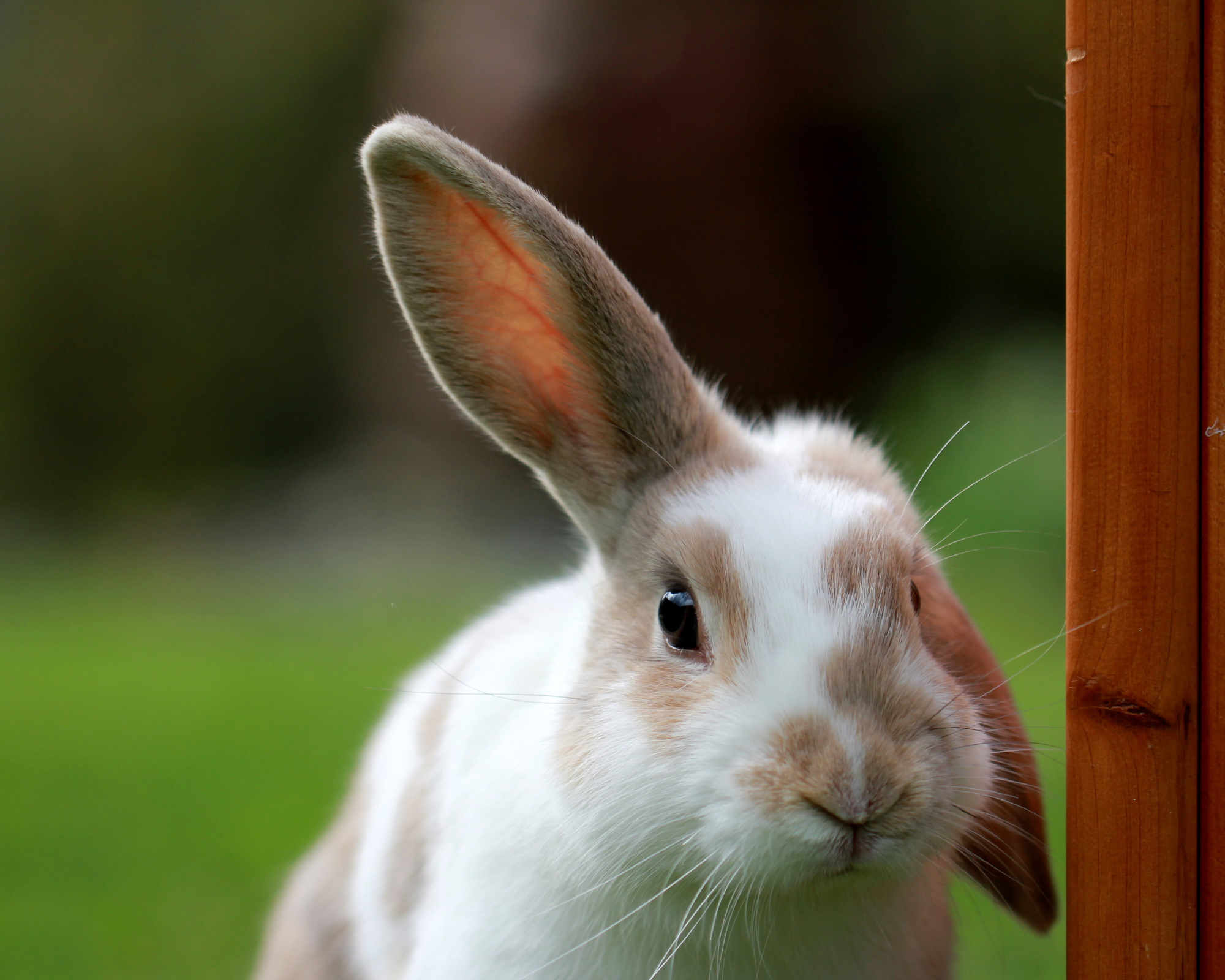 rabbit with one ear up and one ear down