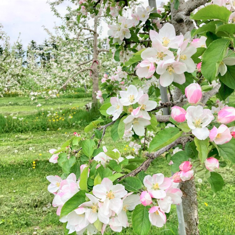 apple tree with blossoms in full bloom