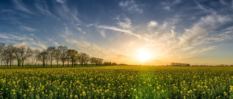 sunrise over a green field of yellow flowers