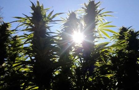 Big Cannabis Buds in the Sun