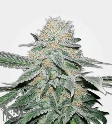 Sugar Haze Cannabis Strain