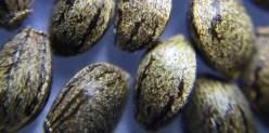 Tiger Striped Cannabis Seeds