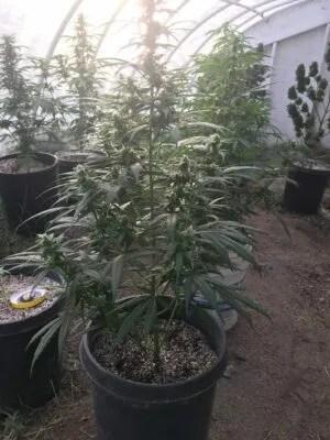 Lebanese Landrace Cannabis Plant