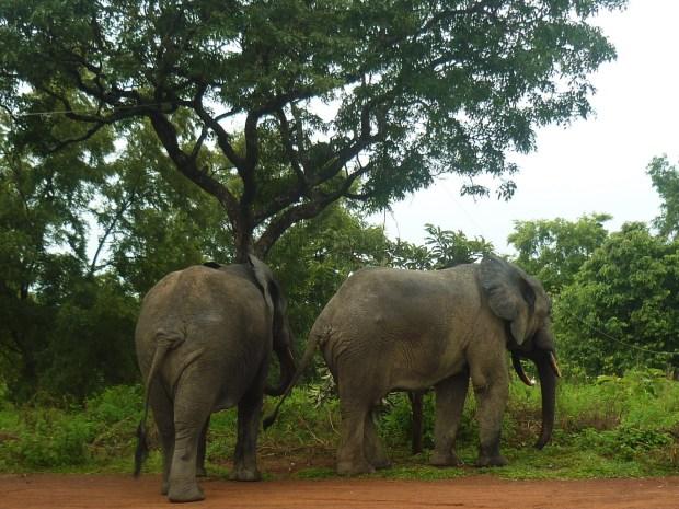 african elephants mole park ghana