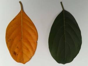 kayFalljackfruit