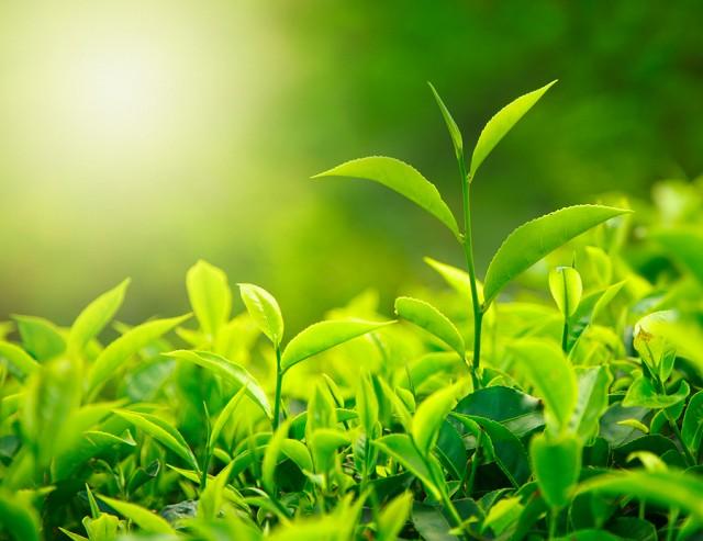 Tea Leaves Growing