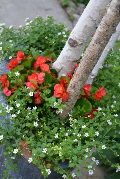 Birch branches and begonias