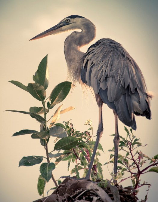 Herons like to find a perch up high to preen and watch. I know because we have one that sits on an oak branch out back. He typically shows up in the afternoon to scratch and decide what to do next. This one however I found at Emerson Point which is a local preserve. We are fortunate to have these birds in such close proximity. Years ago when I lived in Canada, Heron sightings were rare and a