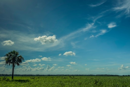 A lone Palm in an open field in central Florida's   Myakka State Park. These open spaces are necessary for the ecology so its nice we have   parks where nature can thrive.