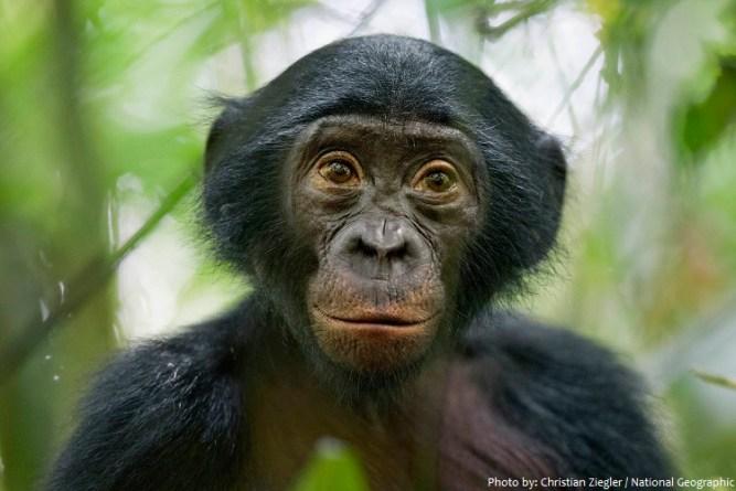 bonobo-3