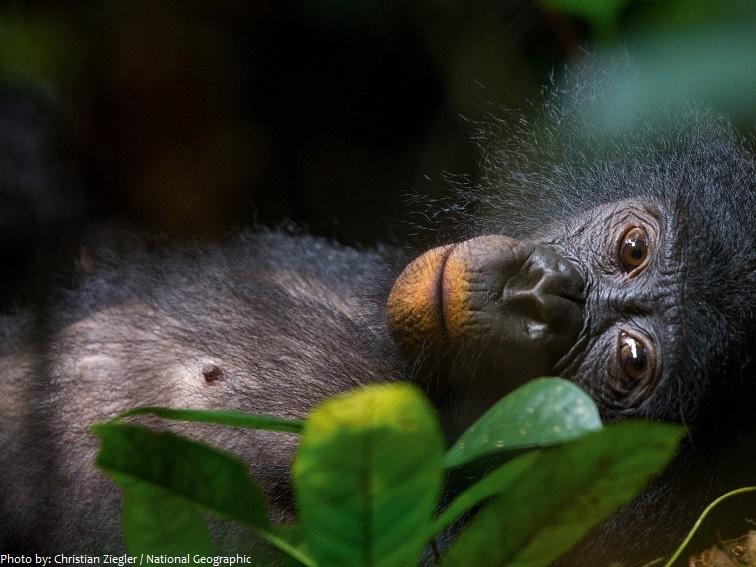 bonobo 4 - Interesting facts about bonobos