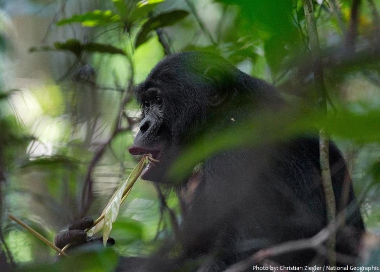 bonobo eating