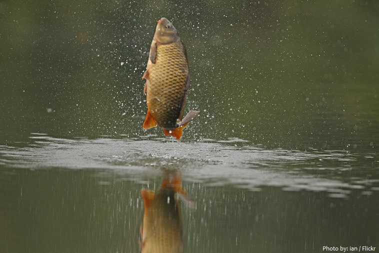 Interesting facts about common carp | Just Fun Facts