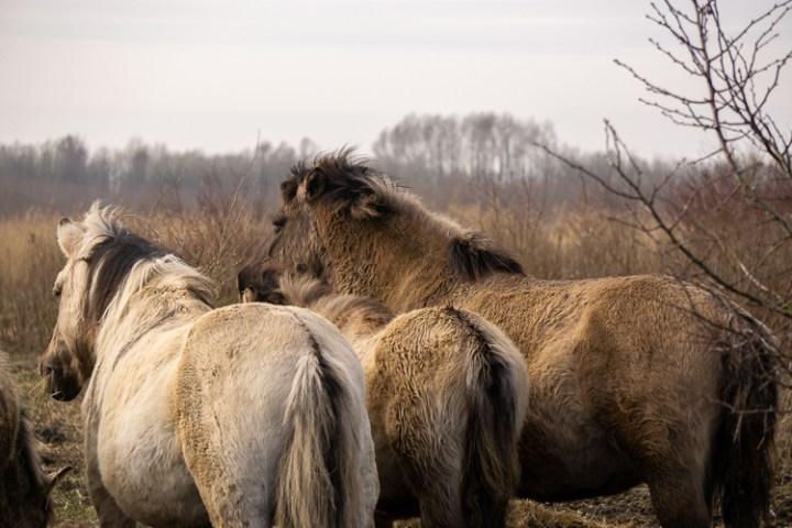 Oostvaardersplassen - Konikpaarden in Nieuw Land