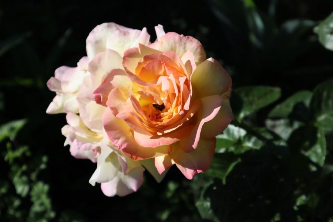 L'histoire de la rose bleue