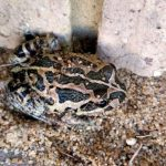 backyard toad