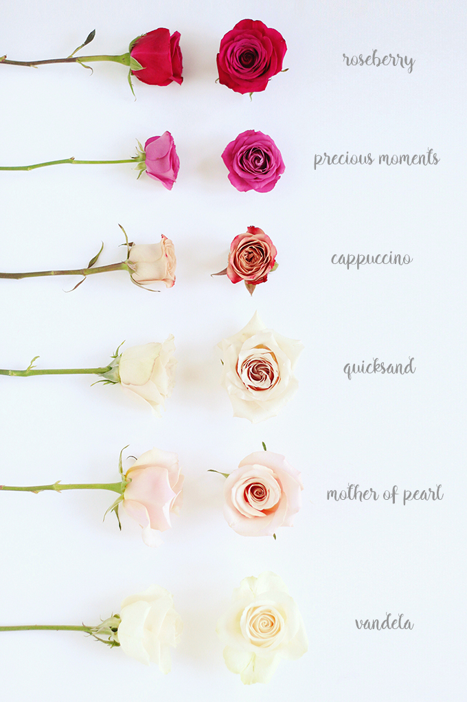 All About Roses | How to Idenitify and Care for Roses // JustineCelina.com x Rebecca Dawn Design