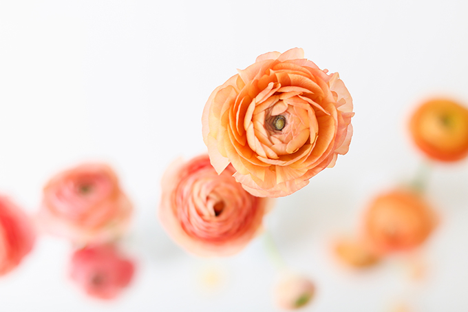 All About Ranunculus | Care & Conditioning Tips | Peach Pink Coral Ranunculus on a White Background | JustineCelina.com