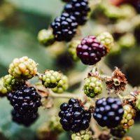 Wilde Brombeeren pflücken: Alles, was du wissen musst