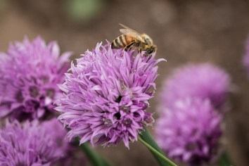 Honey-Bee-Chive-Pollinate