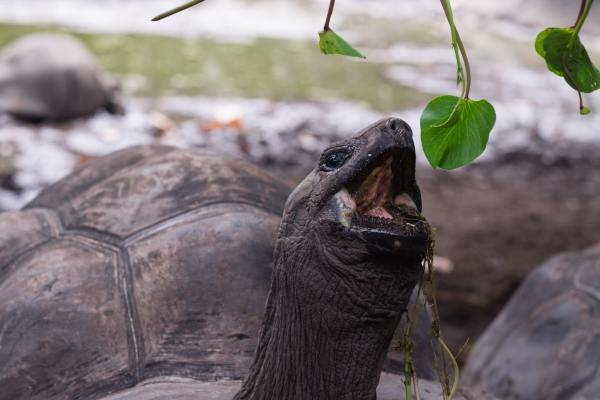 Turtle eating a leaf slowly
