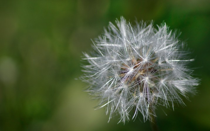 Dandelion Dazzle