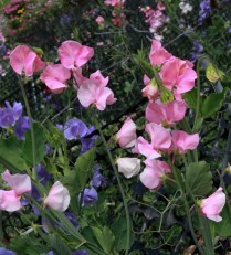 One of the highlights of the day was getting lost in a Sweet Pea maze.