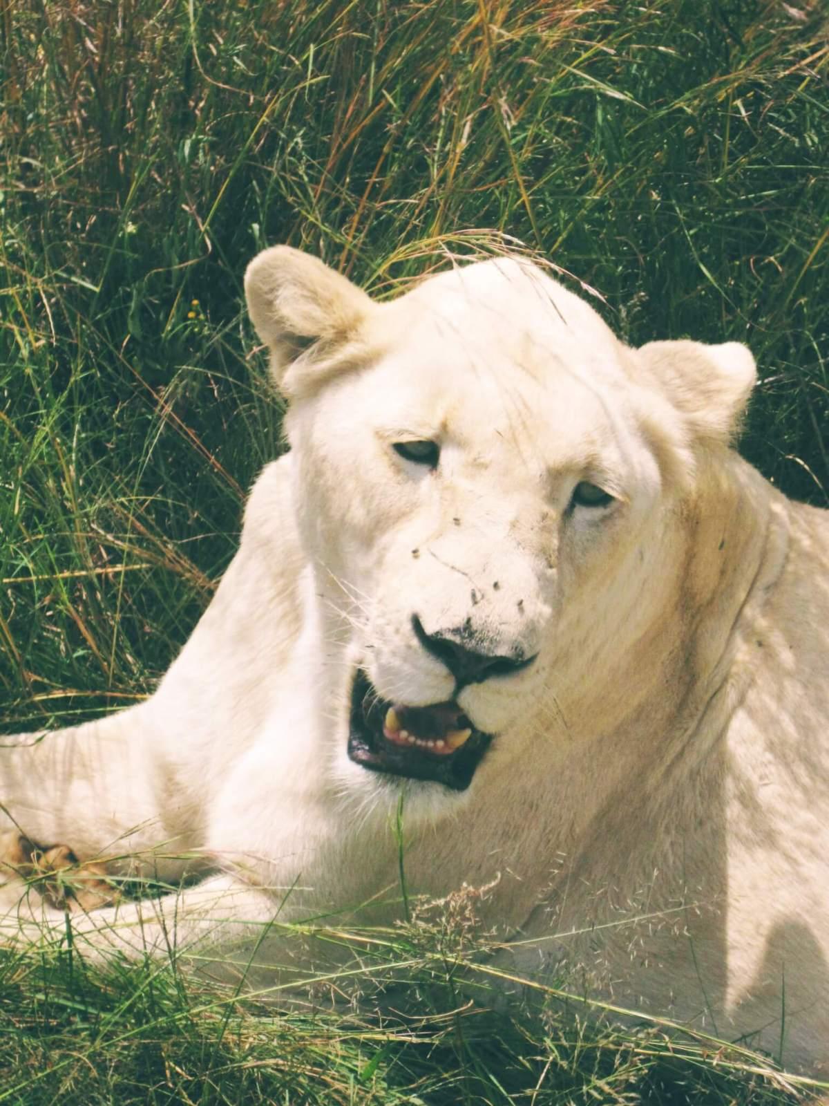 White lioness roaring | Animal Tourism