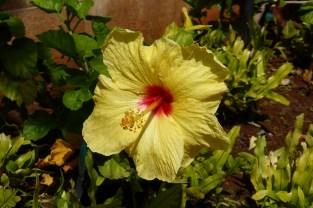 Yellow Hibiscus Oahu