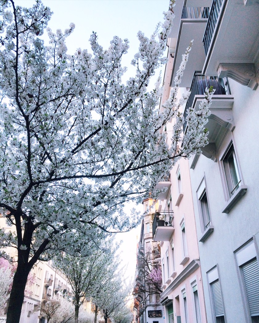 White cherry blossoms in Zurich kreis 3