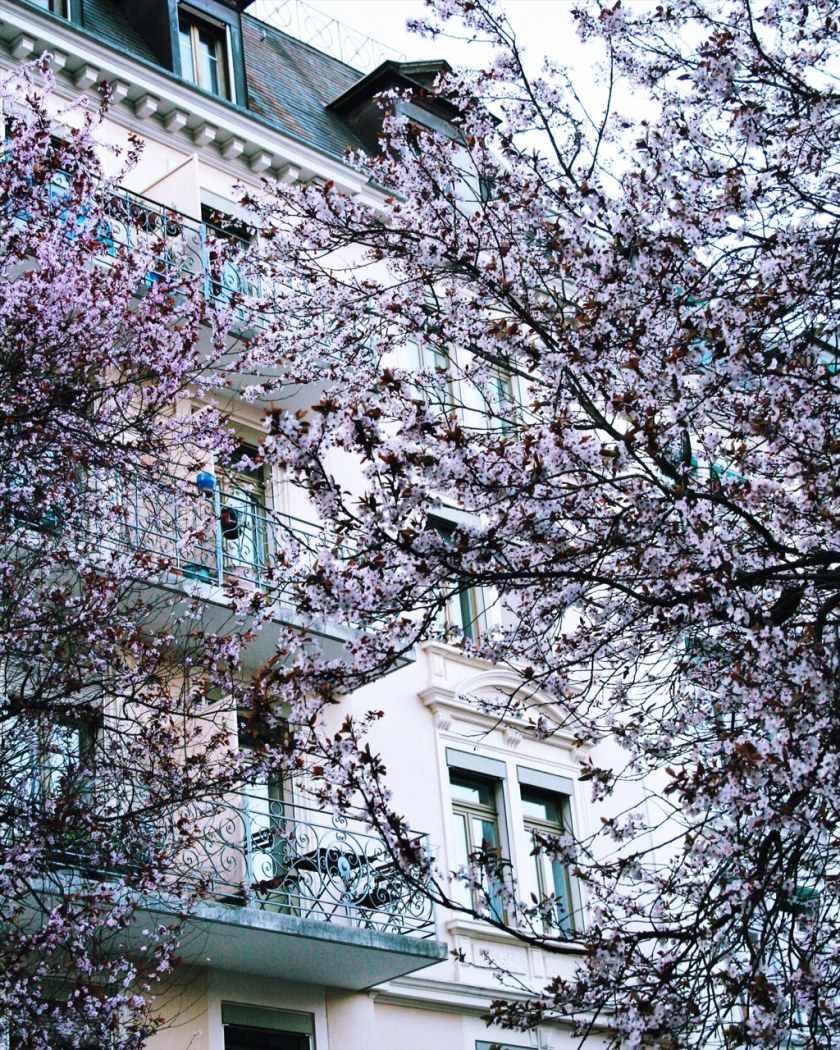 Pink cherry blossoms in Zurich