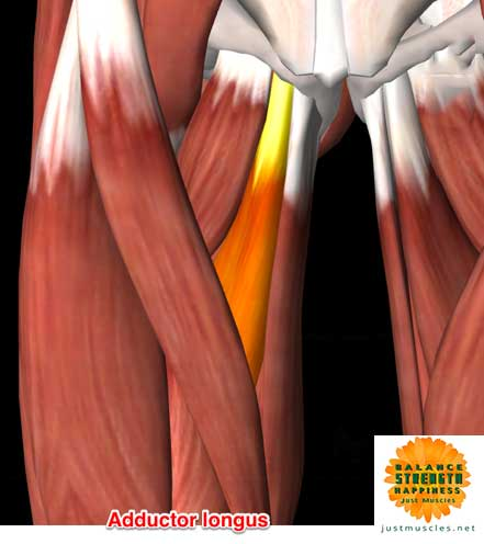 Image of illustration of adductor muscles longus
