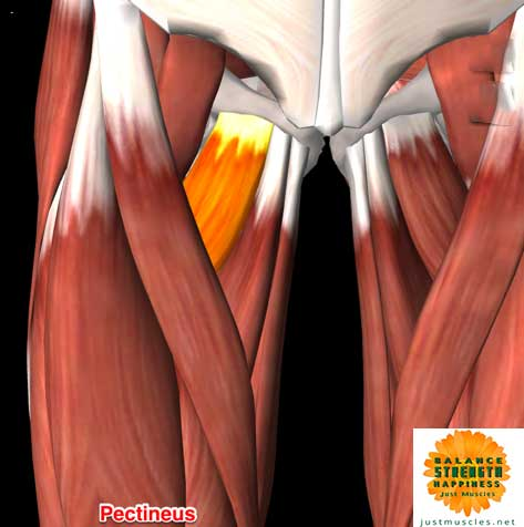 Image of illustration of adductor muscles pectineus