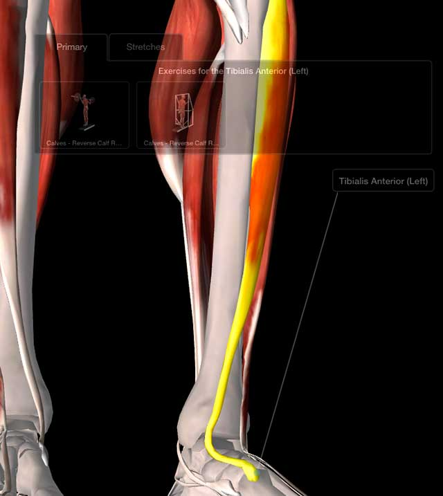 image of illustration of tibialis anterior