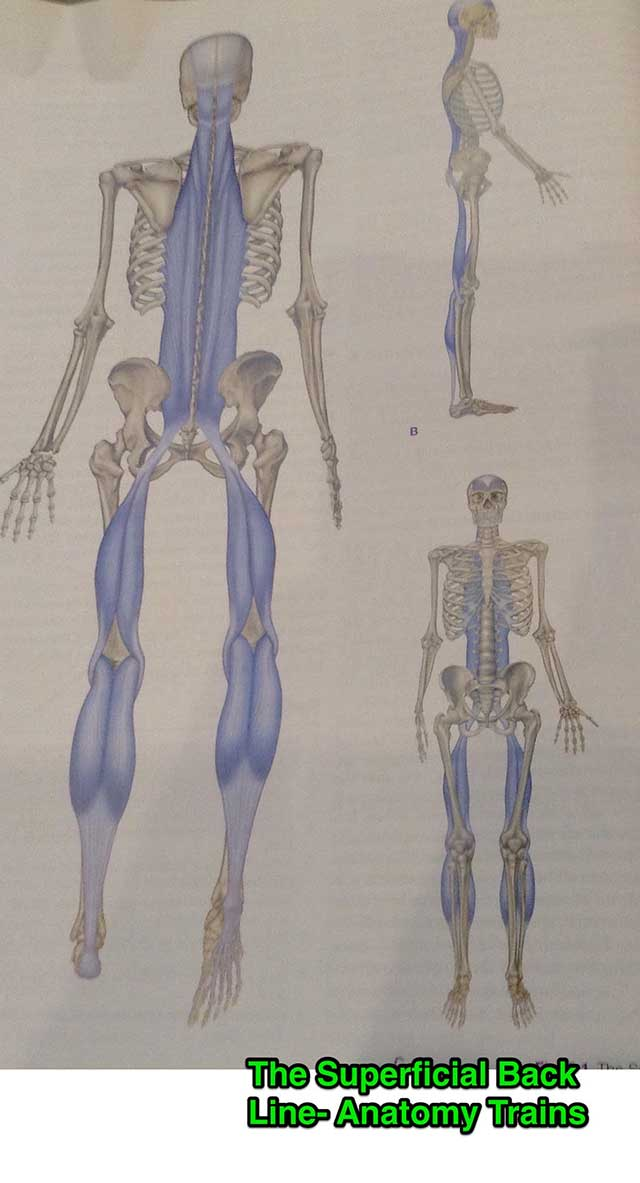 image of an illustration of the skeleton and calf muscles