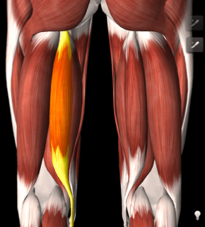 Image of illustration of inside hamstring muscle